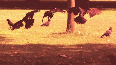 3 crows flying